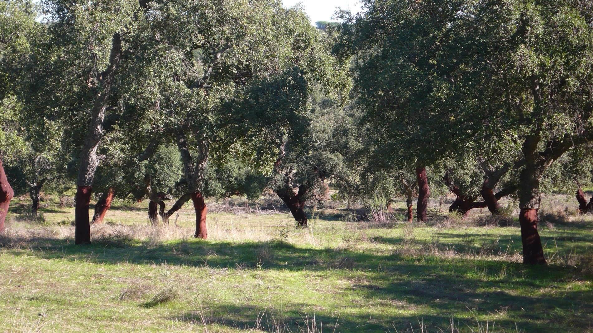 Una finca tipo dehesa con un bosque de alcornoques