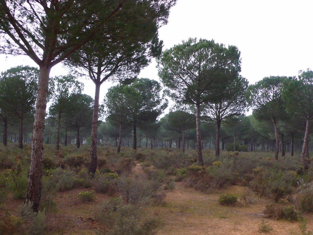 dehesa de pinos y alcornoques