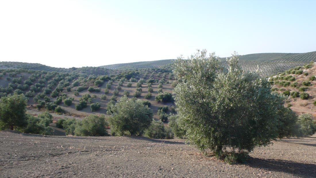 Finca de olivar secano
