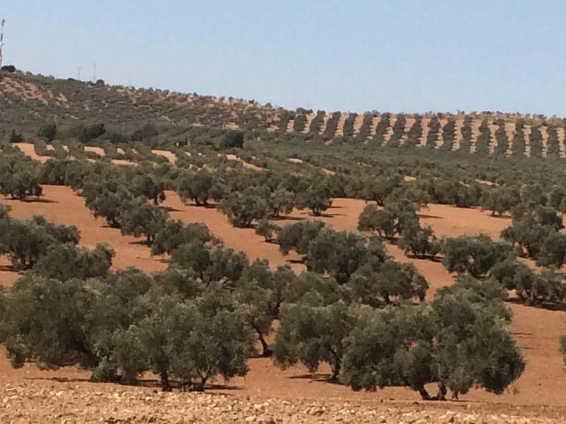 finca de olivar secano.