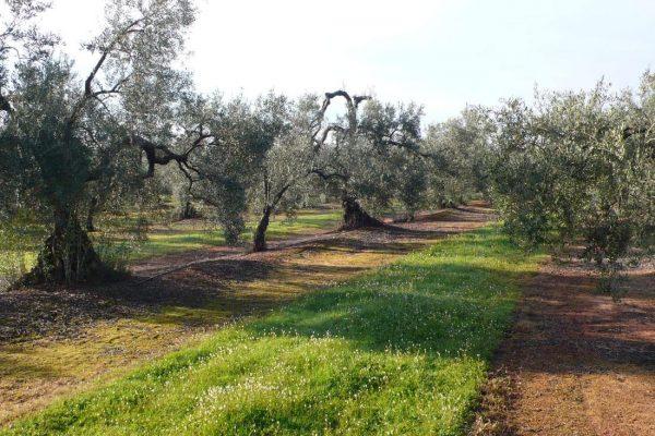 finca de olivar riego